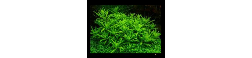 Plante acvarii